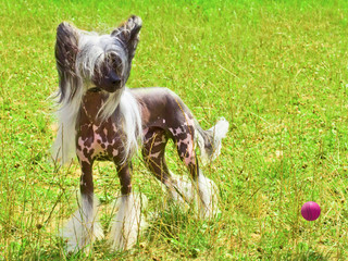dog Chinese Crested breed with red ball