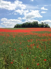 Poppy field, Kent, UK