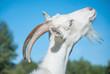 Funny goat's portrait - 67068038