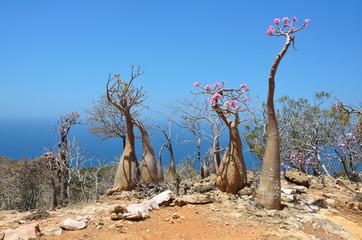 Типичная флора на склонах гор на острове Сокотра