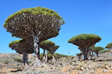 Драконовые деревья на плато Диксан, остров Сокотра
