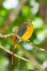 Lovely of Orange-breasted Trogon looking at us in nature