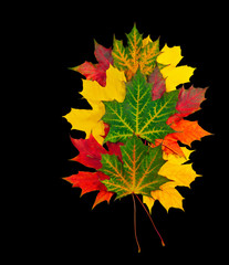 autumn maple leaves isolated on black