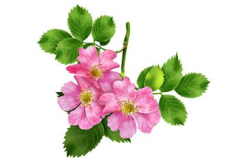ветка шиповника с цветами