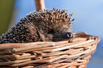 hedgehog in basket