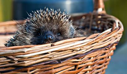 cute hedgehog in basket
