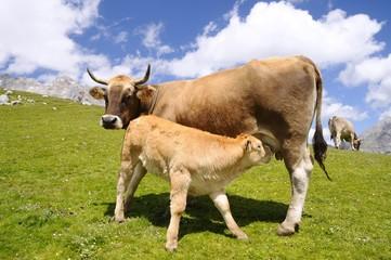 Calf suckling.