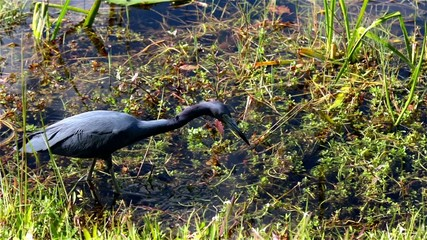 Little Blue Heron, Florida, USA