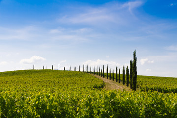 vineyard and cypresses in Tuscany, Italy