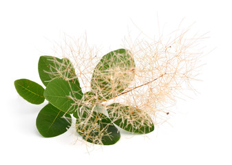 Cotinus flower isolated