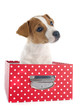 canvas print picture - puppy jack russel terrier