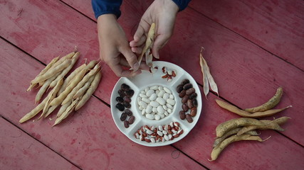 closeup of farmer hands shell husk decorative colorful bean pods