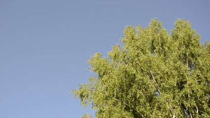 big old wide birch branches sway in wind on blue sky background