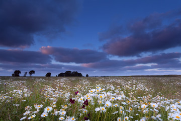 sunset over chamomile flowers field