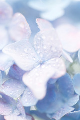 水滴とアジサイ