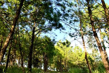 Nature of  pine forest in Phu Rua mountain , Phu Rua, Loei, , Th