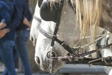 White horses blinkers