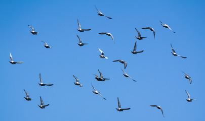 Taubenschwarm am Himmel