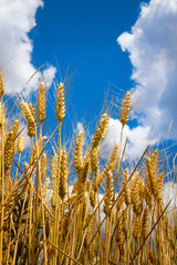 golden wheat in the blue sky
