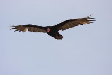 uccello rapace isole ballestas penisola di paracas perù