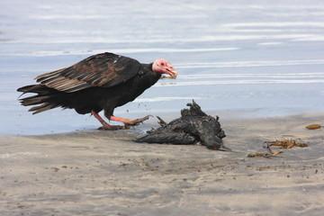 avvoltoio isole ballestas penisola di paracas perù