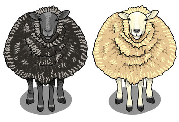 white sheep and black sheep