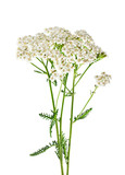 Fototapety Yarrow plant closeup isolated on white background. Medicinal pla