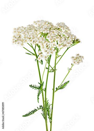 Papiers peints Vegetal Yarrow plant closeup isolated on white background. Medicinal pla