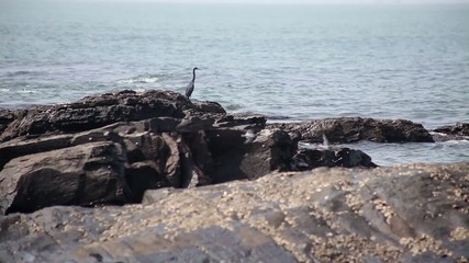 Grey heron near ocean