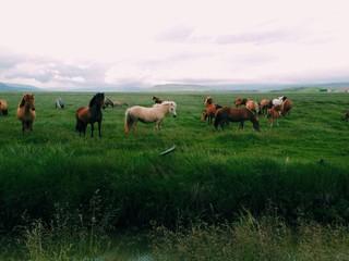 Icelandic horses near Varmahild, Iceland