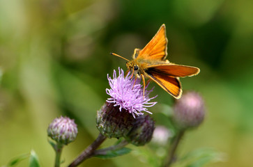 butterfly on purple thistle