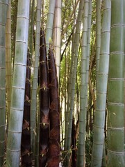 big bamboo in kyoto