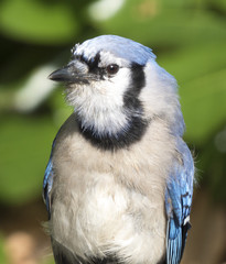 Close up of Blue Jay perched in yard