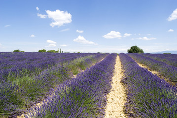 Lavender field in Valensole, South-eastern France