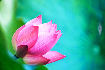beautiful pink waterlily or lotus flower in pond