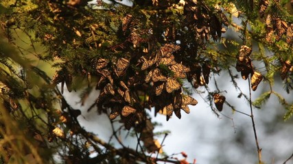 Monarch Butterfly Biosphere Reserve, (Mexico)