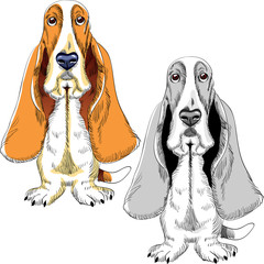 vector set dog Basset Hound breed