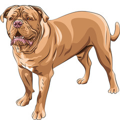 vector  dog breed French Mastiff