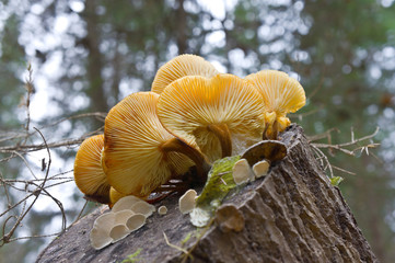 Mushrooms on a stump