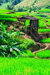 Rice paddy as the main agriculture of Thailand