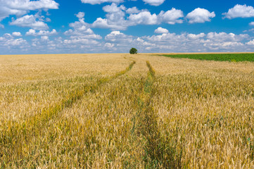 Summer landscape with wheat field in central Ukraine