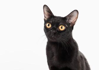 black traditional bombay cat on white background
