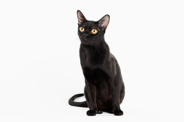 black traditional bombay cat on white background