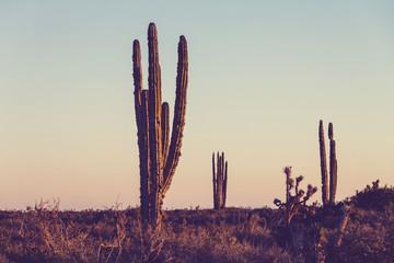 Cactus in Mexico