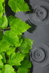 Green leaves in water  in the rain