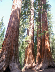 Large trees of Sequoia National Park, USA