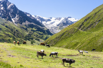 Cows and Taschachferner, Austria