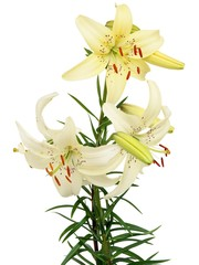 white and yellow lilies