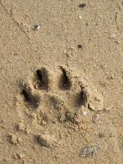 Single dog pawprint on sand beach, Samui, Thailand