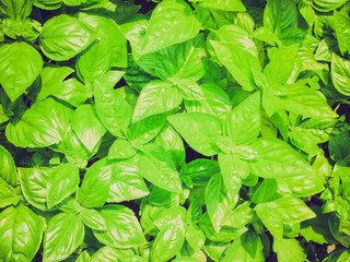 Retro look Basil